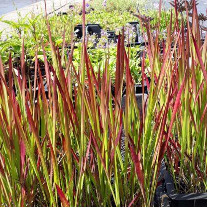 Imperata cylindrica 'Red Baron' (Japans bloedgras)