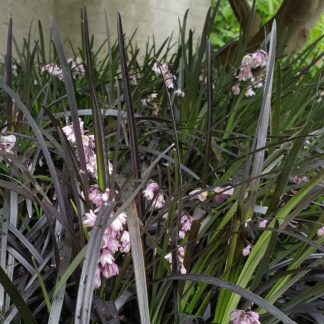 Ophiopogon planiscapus 'Nigrescens' (Slangenbaard)
