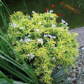 Rosmarinus officinalis 'Wilma's Gold' (Rozemarijn)