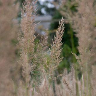 Calamagrostis acutiflora (Struisgras, Bosstruisgras)
