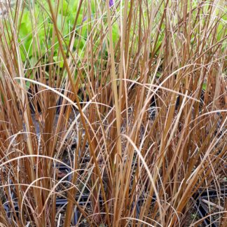 Carex buchananii 'Red Rooster' (Rode zegge)