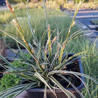 Carex conica 'Snowline' (Zegge)