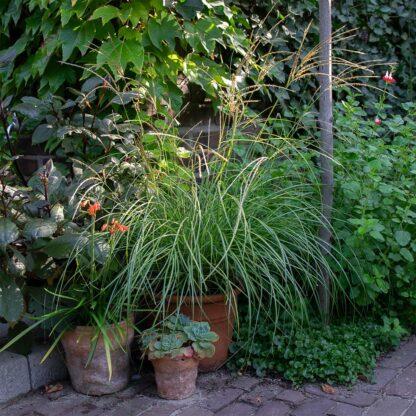 Miscanthus sinensis 'Yaku Jima' (Prachtriet, Chinees riet)