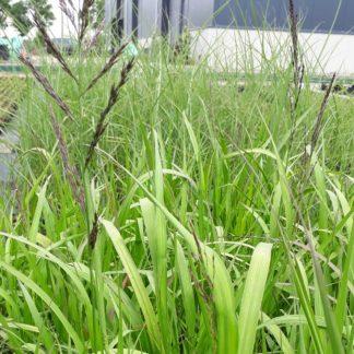 Molinia arundinacea 'Transparent' (Pijpenstrootje)