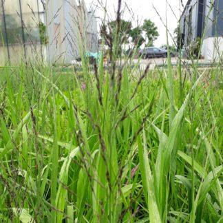 Molinia arundinacea 'Windspiel' (Pijpenstrootje)