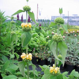 Phlomis russeliana (Brandkruid)