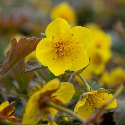 Waldsteinia ternata (Gele aardbei)