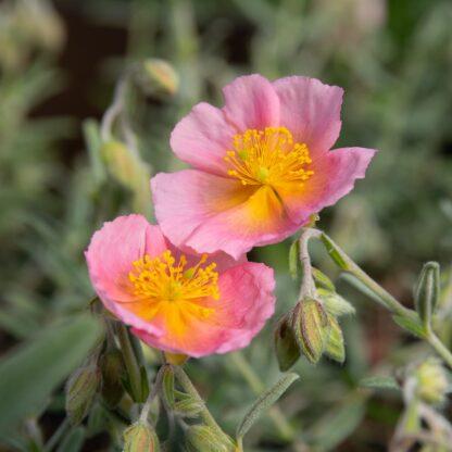 Helianthemum hybride 'Wisley Pink' (Zonneroosje)