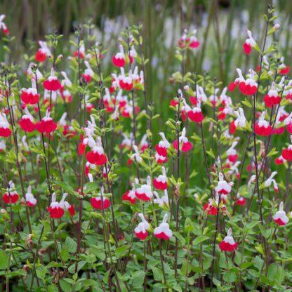 Salvia microphylla 'Hot Lips' (Salie)