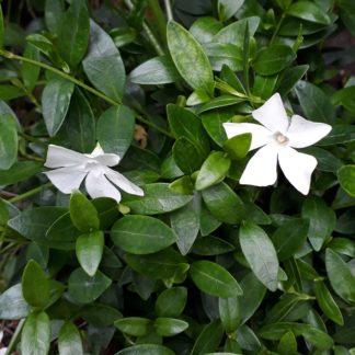 Vinca minor 'Alba' (Wit bloeiende maagdenpalm, Kleine maagdenpalm)
