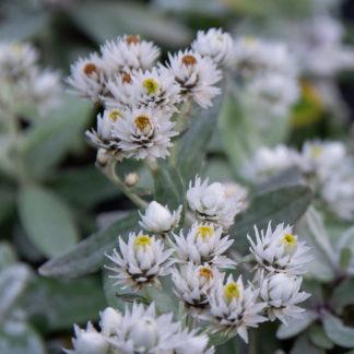 Anaphalis triplinervis (Siberisch edelweiss, Witte knoop)