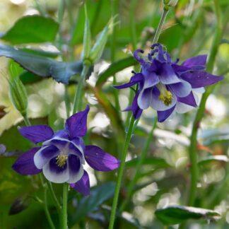 Aquilegia caerulea (Akelei)