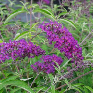 Buddleja davidii 'Nanho Purple' (Vlinderstruik)
