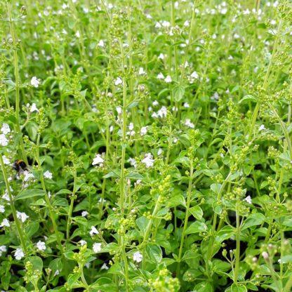 Calamintha nepeta subsp. nepeta (Bergsteentijm)