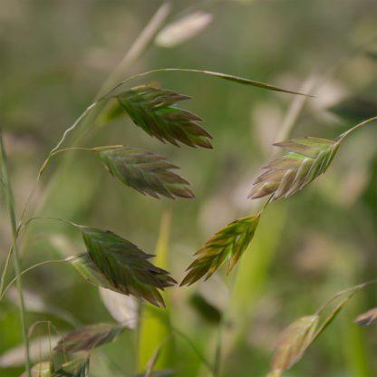 Chasmanthium latifolium (Plataargras)
