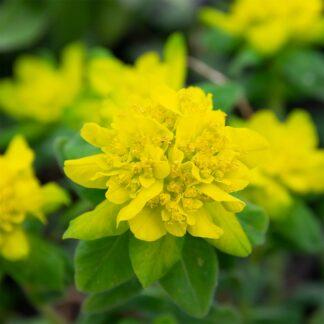 Euphorbia polychroma (Wolfsmelk)