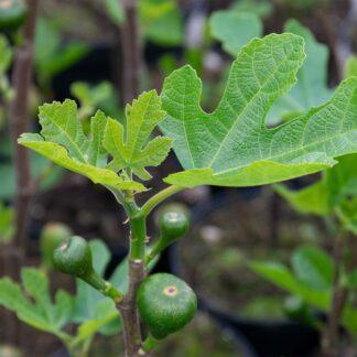 Ficus carica (Vijg, Vijgenboom)