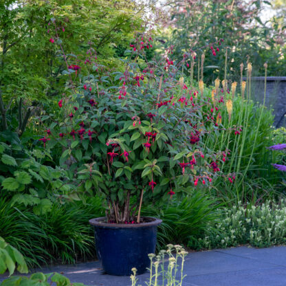 Fuchsia 'Lady Boothby' (Bellenplant)