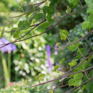 Hedera hibernica (Ierse klimop)