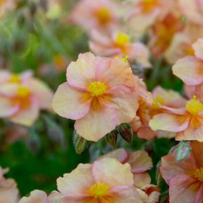 Helianthemum hybride (Zonneroosje)