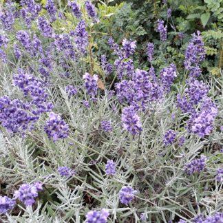 Lavandula angustifolia 'Dwarf Blue' (Lavendel)