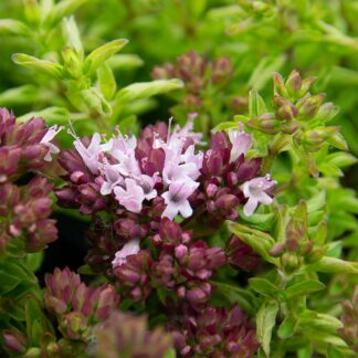 Origanum vulgare 'Compactum' (Wilde marjolein, Oregano)