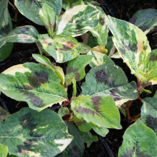 Persicaria virginiana 'Painter's Palette' (Duizendknoop)