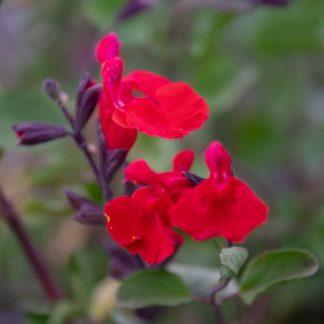 Salvia x jamensis 'Red Velvet' (Salie)