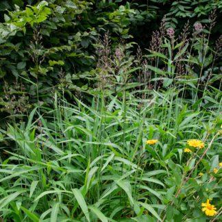 Spodiopogon sibiricus (Siberisch siergras)