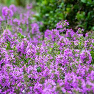 Thymus vulgaris 'Compactus' (Echte tijm)