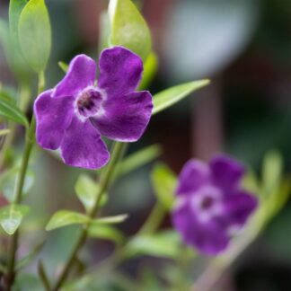 Vinca minor 'Atropurpurea' (Kleine maagdenpalm)