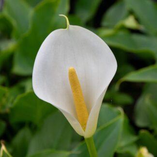 Zantedeschia aethiopica (Witte aronskelk)
